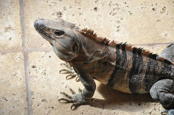 Cuchara offers eight barbacoas -- including iguana -- for Father's Day weekend special menu.