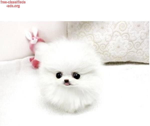 free-classifieds-ads.org - Outstanding Teacup Pomeranian Puppies For Adoption:647-793-1250