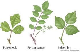 Poison Ivy, Poison Oak, Poison Sumac - Treatment - Cleanse the irritated area with apple cider vinegar.  Use eEssential oils mixed with Aloe Vera gel, such as tea tree, lemon, lavender, peppermint, geranium, & chamomile. Use a baking soda paste.  Epsom salt baths.  Jewel weed (mash & apply), Chamomile tea bag compresses. Read more...