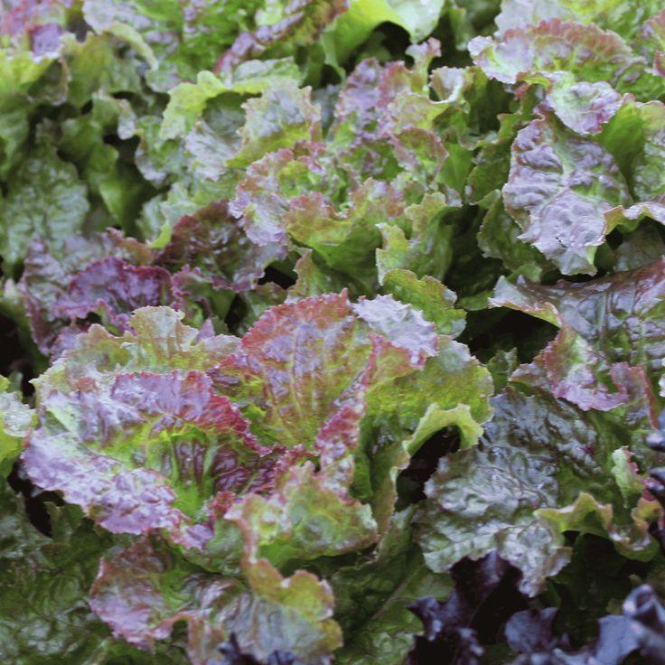 Leaf lettuce seeds prizehead in 2020 lettuce seeds