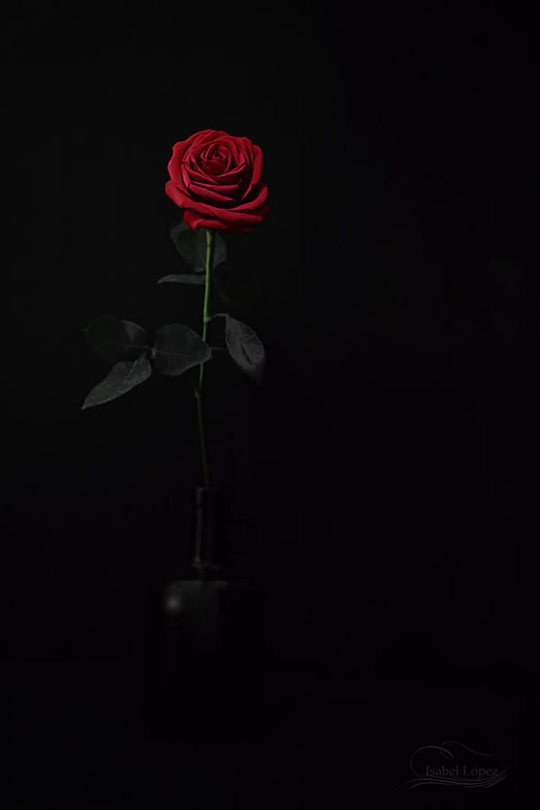 Rosas By Isabel Lopez On 500px Rose Wallpaper Red Roses Wallpaper Flower Phone Wallpaper