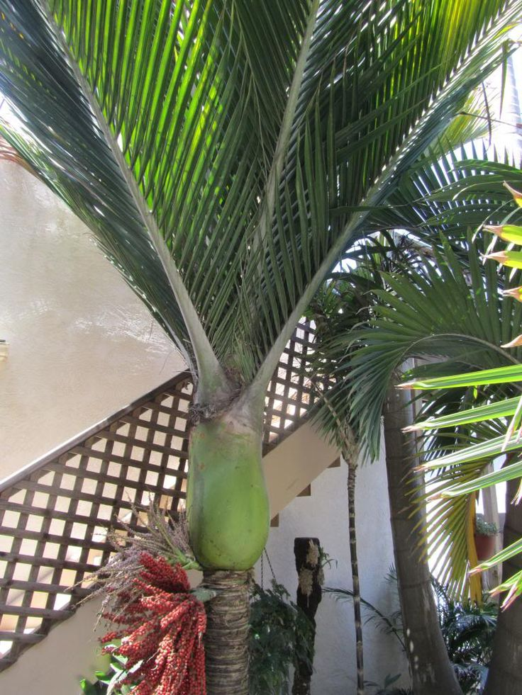 """Dennis Willoughby PRA """" The palm Maestro """" ! - DISCUSSING PALM TREES WORLDWIDE - PalmTalk"""