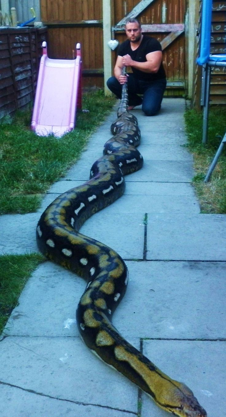 Tiger Retic Snakes Reticulated Python Giant Snake