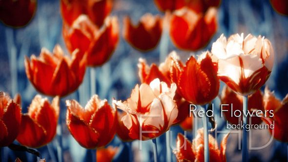 Red Tulips Flowers with Indigo Background Nature Video by cinema4design