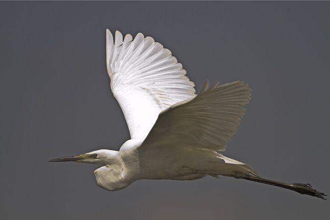 1000+ images about Birds - White Egret on Pinterest ...