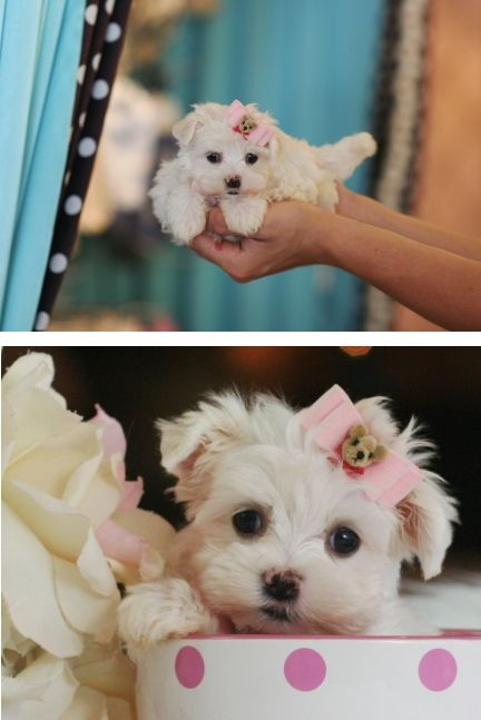 teacup maltese price big discount sale today available now call for sale 9181