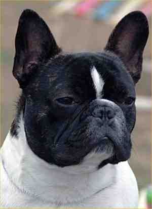 French Bulldog Breed Information and Pictures on PuppyFinder.com