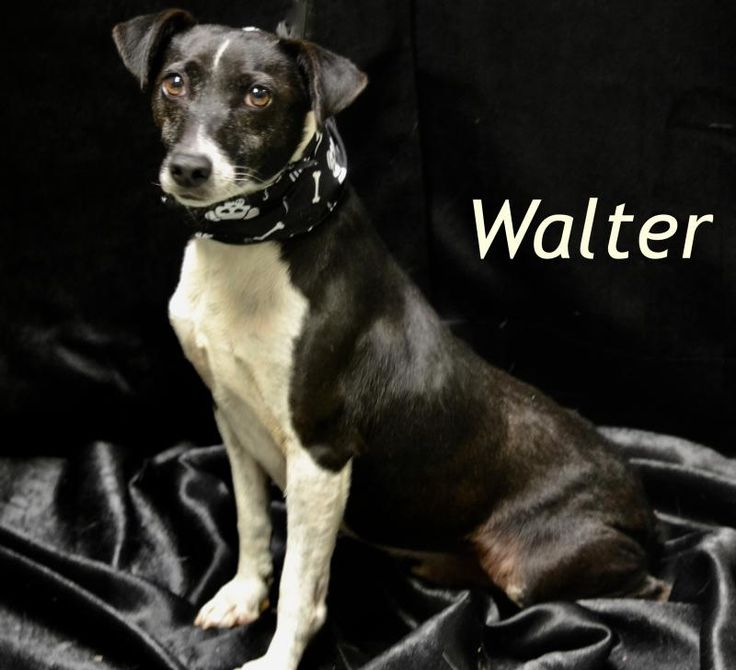 Walter is an adoptable Jack Russell Terrier searching for a forever family near Sevierville, TN. Use Petfinder to find adoptable pets in your area.