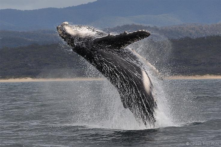 Humpback Whale - Merimbula NSW   Oct 2011 © Chris Holmes
