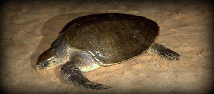 Mirissa Turtle