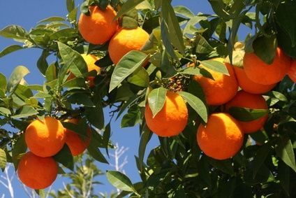 Orange Trees should be fed every three weeks until they are three years old.