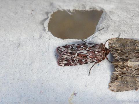 Lycophotia porphyrea: the true lovers knot | The Nature of Dorset