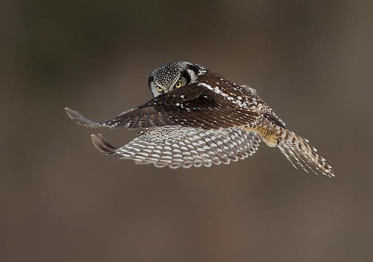 Northern Hawk Owl  © Axel Hildebrandt
