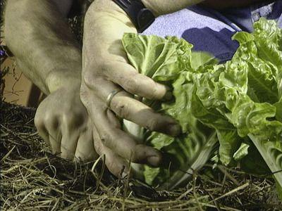 Cultivando repolho 5 Cultivando repolho