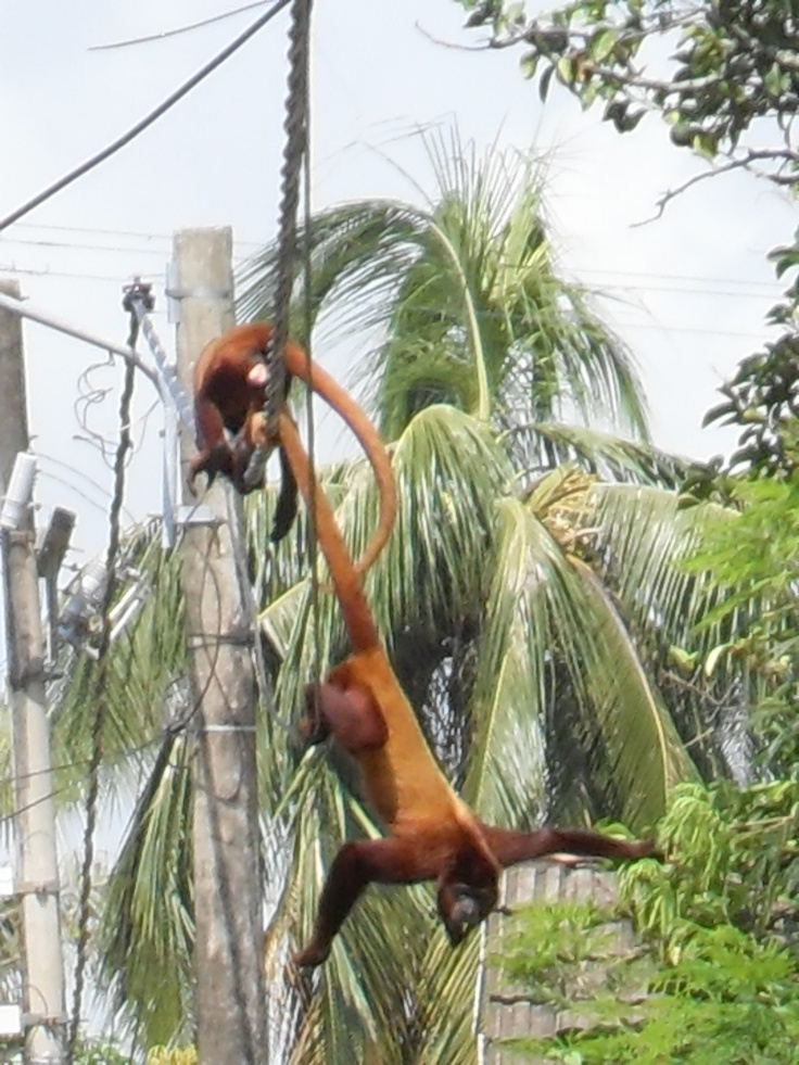 We have howler monkeys al about the house in Mompos
