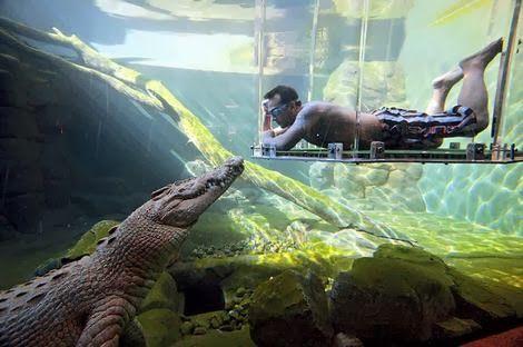 Estar muy cerca de los mayores cocodrilos de agua salada es posible en la jaula de la muerte de Crocosaurus Cove en Darwin, Australia