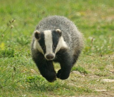 Support our badger vaccination programmes | The Wildlife Trusts