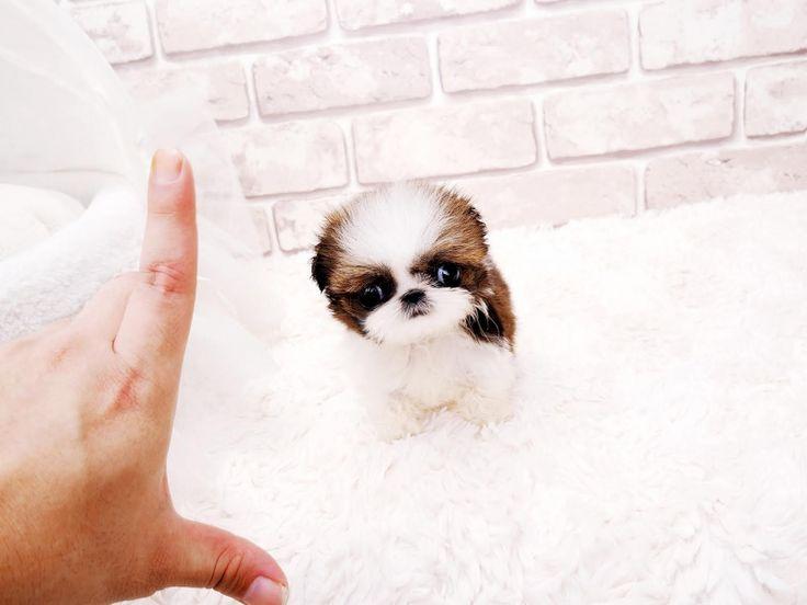 Adorable Amazing Lil Harley ~ Precious Micro Mini Shih tzu Baby Boy Available!