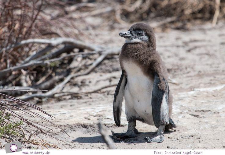 Südafrika #7: Die Pinguine von Betty's Bay (Stony Point)