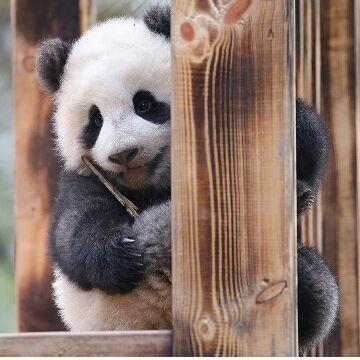 #panda #pandas #cub