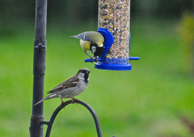 Sparrow and Great Tit arguing over dinner.