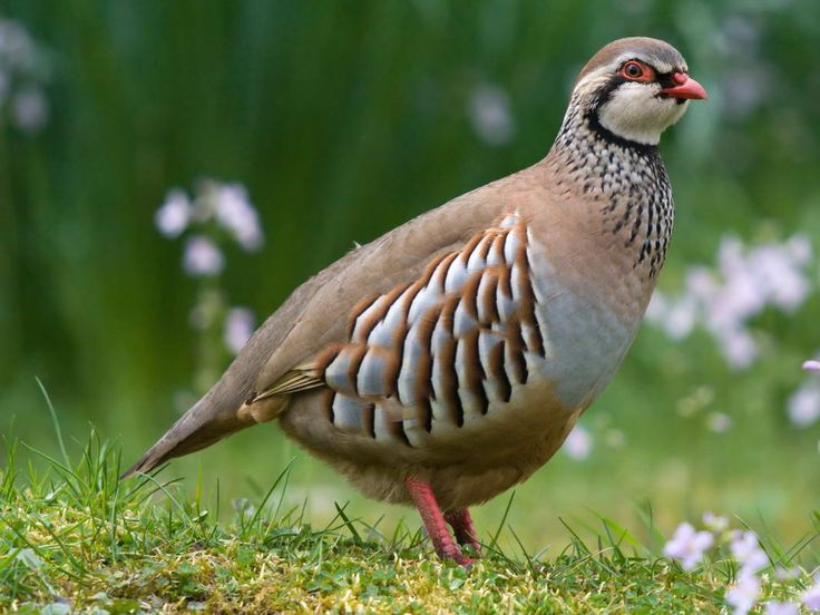 partridge bird photos | Hunting Season: 1 st October till 31 st January (we do not arrange ...