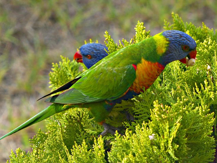 Green on Green - Rainbow Lorikeet Pair by Jeremy W on 500px