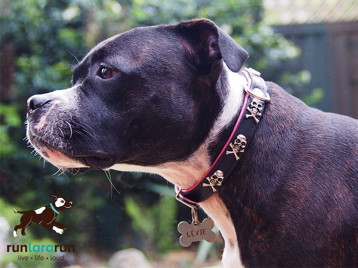 runlararun - the best dog collars, leads and harnesses - Captain Jack Collar - Skull and Cross Bones, $19.95 (http://www.runlararun.com/captain-jack-collar-skull-and-cross-bones/)
