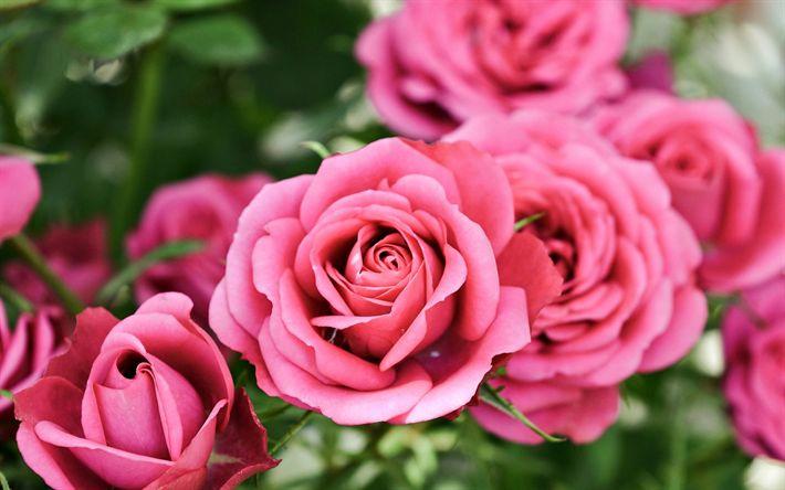 Download wallpapers pink roses, close-up, rosebush, pink flowers, roses