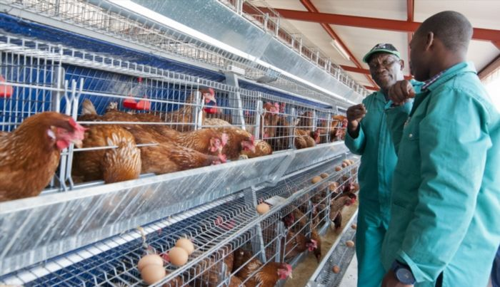 Read: Another Bird Flu outbreak leads to Gov. banning sales of live hens Not good... https://www.thesouthafrican.com/read-another-bird-flu-outbreak-leads-to-gov-banning-sales-of-live-hens/