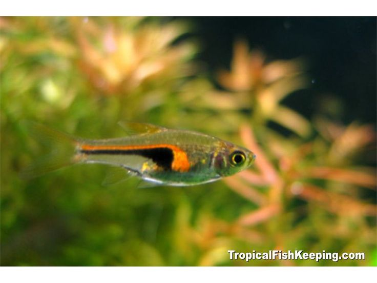 1000+ images about Fresh water nano fish on Pinterest Canada ...