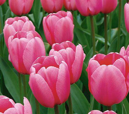 584 best bulbs garden images on pinterest pretty flowers tulip pink impression pink tulipswhite flowerswhite flower farmtulips mightylinksfo Images