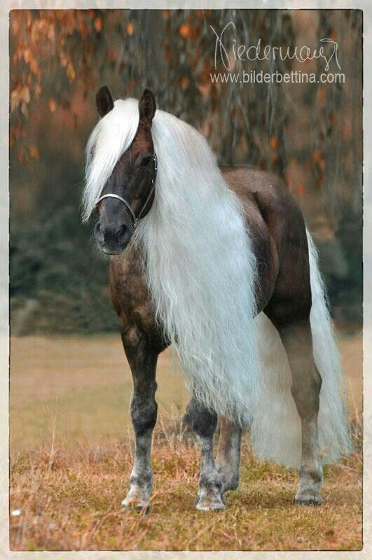 Brown horse with long white manes - bruin paard met lange witte manen