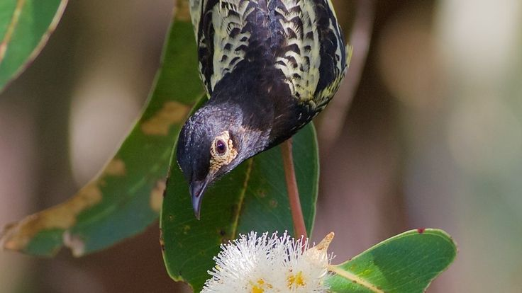 Just 400 Regent Honeyeaters remain in the wild, putting the bird more at risk of extinction than the giant panda or Sumatran rhino.