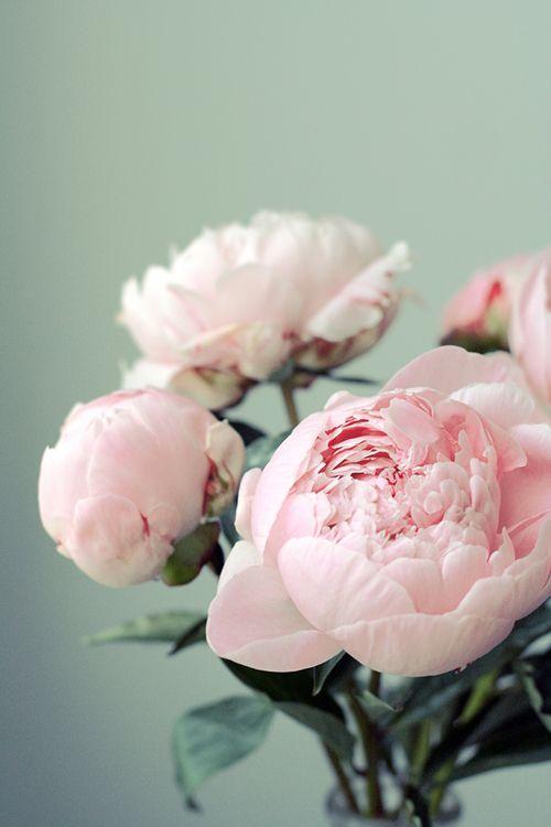 Pastel pink peonies.