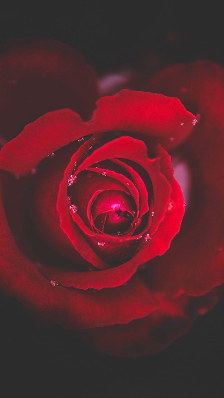 Download Wallpaper 2160x3840 Rose, Bud, Red, Drops, Close