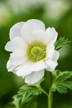 ~Anemone -delicate flowers that dance atop slender stems, giving them their poetic common name -- windflower.