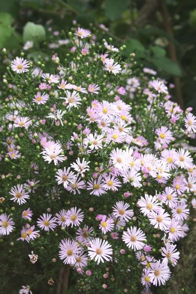 Aster Ericoides Pink Star Star Plants And Cottage
