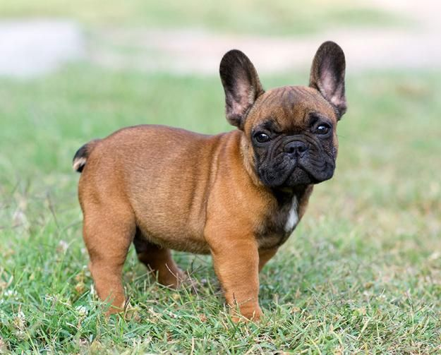 French Bulldog's Temperament   French Bulldog Dogs and Puppies