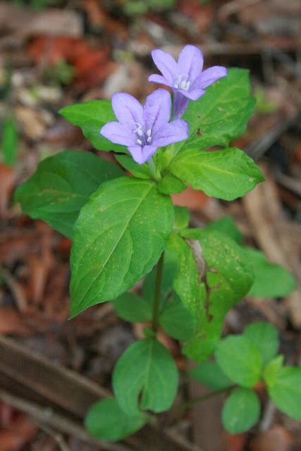 999 best images about wildflowers  native plants of north america ii on pinterest