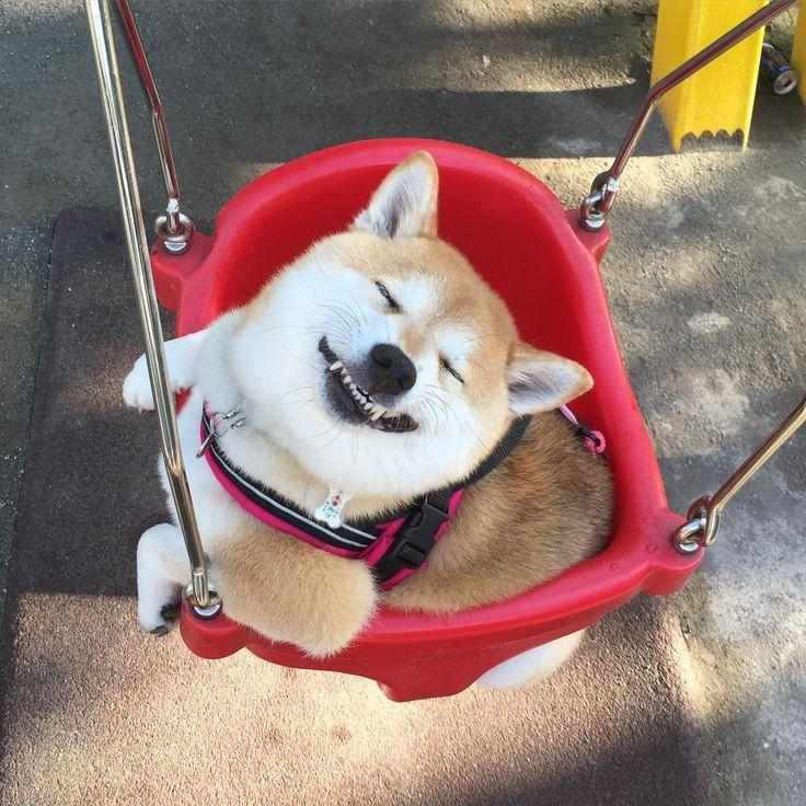 Happy Shiba Inu...give me a push!!!                                                                                                                                                                                 More