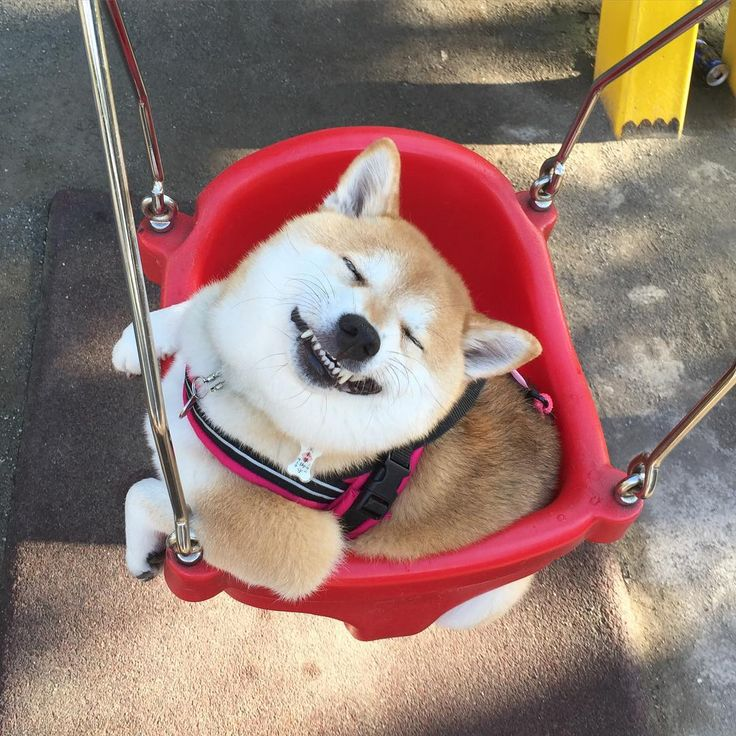 Happy Shiba Inu...give me a push!!!