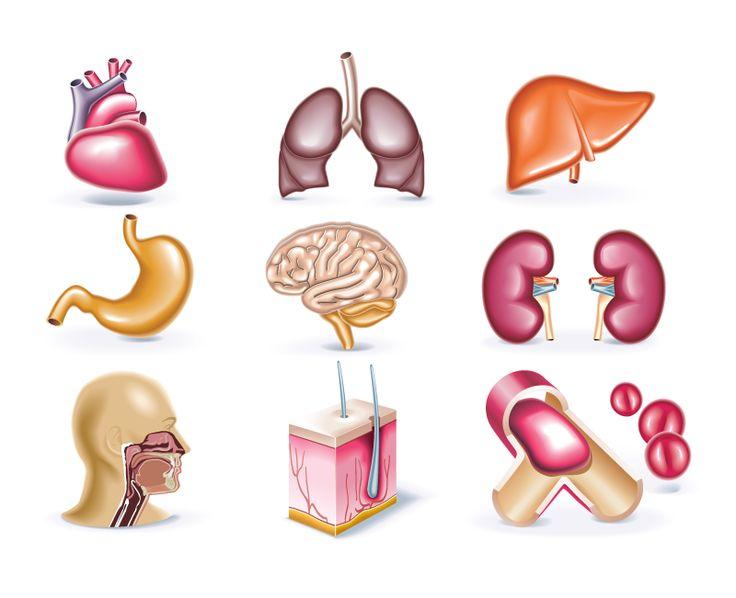 Algunos órganos del cuerpo humano, en dector e imagen normal. Some organs of the human body