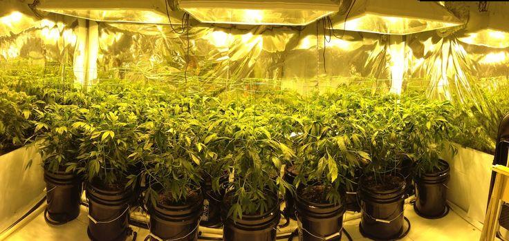 Как вырастить марихуану в гроубоксах сколько марихуаны держится в моче