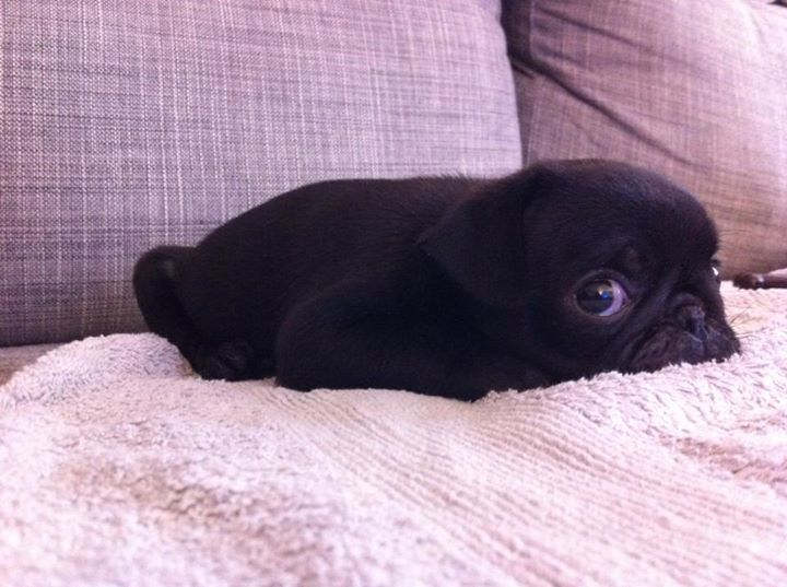 Is it a bunny? A mouse? It's a baby pug!