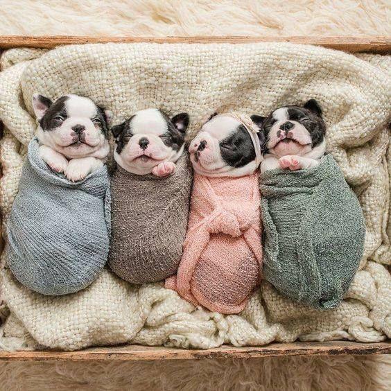 Boston Terrier newborns