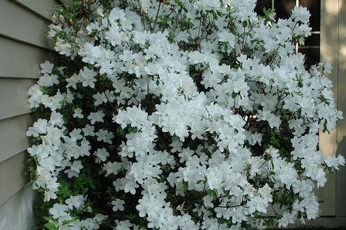 White Azalea Bush, via Flickr.