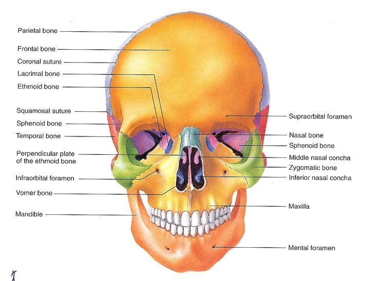 59 best forensic images on pinterest medicine medical and medical skull labeled ccuart Gallery