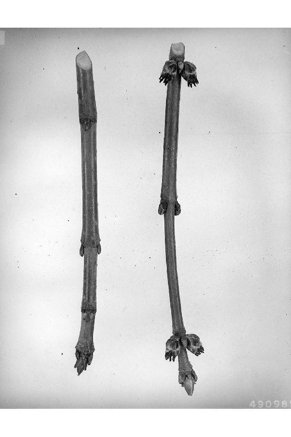 Acer saccharinum- Silver Maple Bud