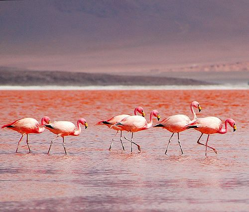 Flamingos at the Atacama Desert, Antofagasta Region, Chile.